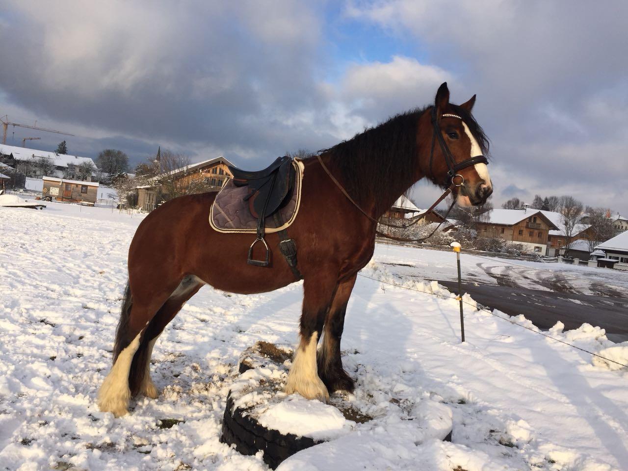 Pferd steht gelassen mit den Vorderbeinen auf einem Autoreifen